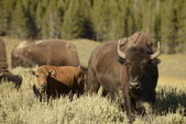 Buffalo Bison in Lamar Valley Yellowstone — Stock Photo