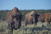 Buffalo Bison in Lamar Valley Yellowstone — Stock Photo