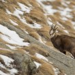 An isolated chamois deer in the snow background — Stock Photo