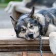 Alaskan Malamute Husky Sled Dog portrait — Stock Photo