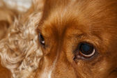 A young cocker spaniel looking at you — Stock Photo