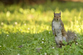 A squirrel looking at you in the green grass and yellow sunny background — Stock Photo