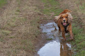 A dog spaniel running to you mirroring in water — Stock Photo