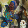 Mandarin fish on hard coral background — Stock Photo