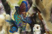 Mandarin fish on hard coral background — Stock Photo