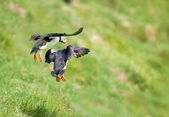 Two puffin landing on green grass — Stock Photo