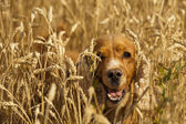 Isolated cocker spaniel looking at you in wheat background — Stock Photo