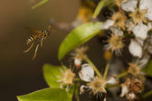 A wasp flying to pear flowers — Stock Photo