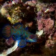 Stock Photo: Mandarin fish on hard coral background in Philippines