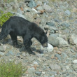 A black bear chasing its prey in Alaska - Zdjęcie stockowe