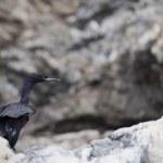 Isolated Cormorant in Homer Alaska Kenai Peninsula — Stock Photo #22963346