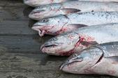 Salmon catch in Homer Alaska Halibut fishing capital in the world — Stock Photo