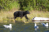 A black bear looking a seagull in Russian River Alaska — Foto de Stock