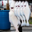 Halibut catch of the day in Homer Alaska — Stock Photo
