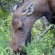 A female moose close up portrait in Alaska — Stock Photo