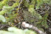 A squirrell hiding in a pine branch in alaska — Stock Photo