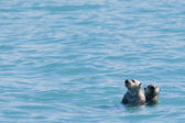 Sea otter swimming in Prince William Sound, Alaska — Stok fotoğraf