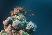 Arrecife de coral del mar rojo — Foto de Stock