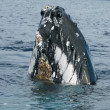Humpback whale head comuing up in deep blue polynesian ocean — ストック写真