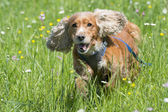 Isolated english cocker spaniel on the grass background — Stock Photo