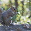 Isolated grey squirrel holding grass — Stock Photo