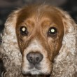 Isolated english cocker spaniel looking at you — Stock Photo