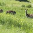 Stock Photo: Isolated Roe Deer while looking at you on the grass