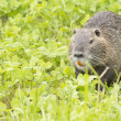 Isolated Beaver coypu looking at you — Stock Photo