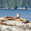 Sea Lions relaxing on Alaska Rocks — Foto Stock