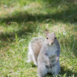 A grey squirrel while looking at you — Stock Photo