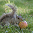 A grey squirrel while eating an apple — Stock Photo