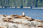 Sea Lions relaxing on Alaska Rocks — Stock Photo