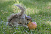 A grey squirrel while eating an apple — Zdjęcie stockowe