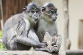 Dwie małpy trzymając ręce — Zdjęcie stockowe