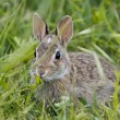 Isolated wild rabbit looking at you on grass background — Stock Photo #26468749