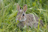 Isolated wild rabbit looking at you on grass background — Stock Photo