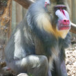 Stock Photo: Isolated Mandrill Monkey portrait