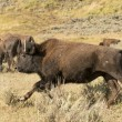 Stock Photo: Buffalo Bison running in Lamar Valley Yellowstone