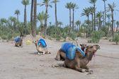 Dromedar kameler nära beduin oasis — Stockfoto