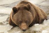 изолированные коричневый черный медведь гризли, играя в ледяной воде — Стоковое фото