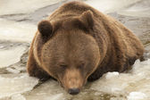 Izolované černý medvěd hnědý grizzly hrát v ledové vodě — Stock fotografie