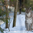 Lynx on the snow background while looking at you — Stock Photo