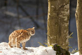 Isolated Lynx on the snow background — Stock Photo