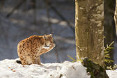 Isolated Lynx on the snow background while licking — ストック写真