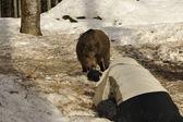一位摄影师用雪背景上的野猪肉 — 图库照片