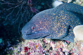 Isolated morey eel looking at you — Stock Photo