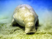 Isolated Dugongo Sea Cow while digging sand for food — Stock Photo