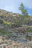 Isolated ibex long horn sheep Steinbock — Stock Photo