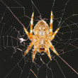 A spider hanging in its web net — Stock Photo