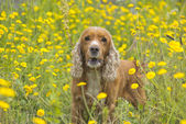 English puppy cocker spaniel on the grass background — Stock Photo
